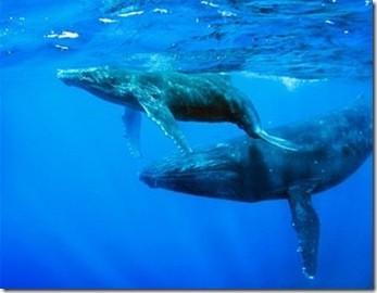 ballenas2