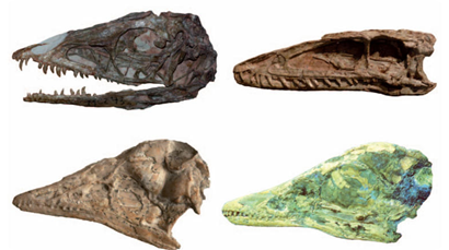 Cráneos de dinosaurios juveniles y adultos, arriba, y aves abajo.