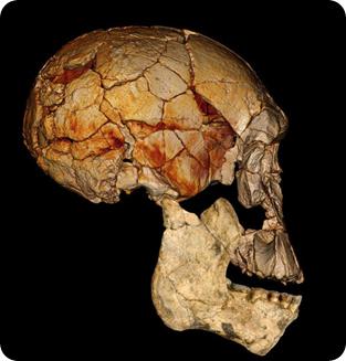 Reconstrucción de Homo rudolfensis