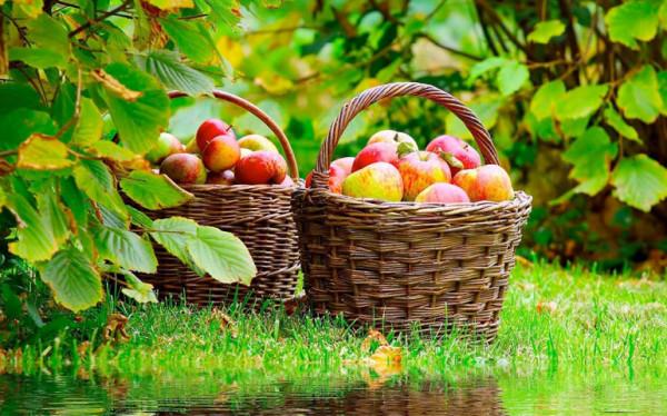 los-cuidados-del-manzano-manzanas-recolectadas