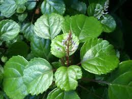 planta-dinero-hojas
