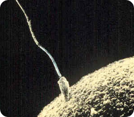espermatozoide ganador, fecundando un óvulo