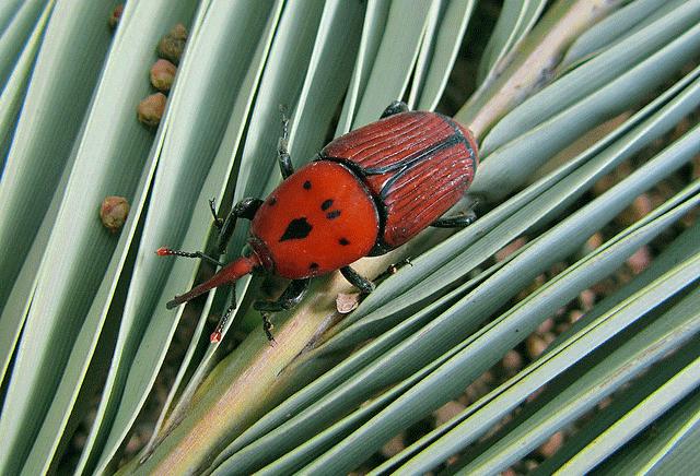 La importancia de preservar las plantas y animales en peligro - el picudo rojo especie invasora