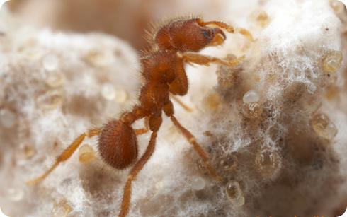 hormiga Sericomyrmex