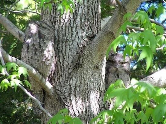 El frogmouth leonado-animales camuflados