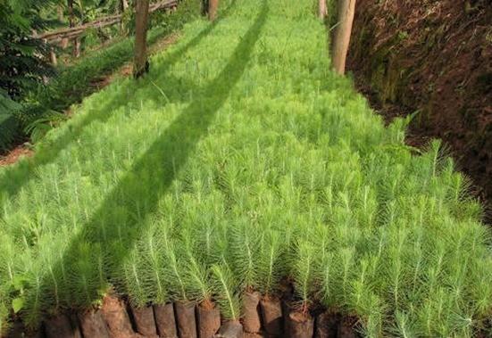 Plantaciones pino