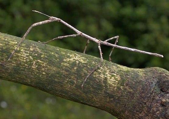 insecto palo-animales camuflados
