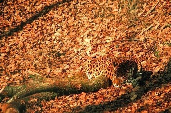 jaguar-animales camuflados