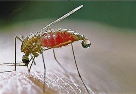 Mosquito-Anófeles