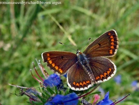 mariosa-argus-brown_thumb.jpg