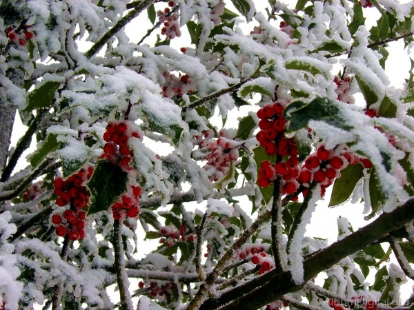 las-plantas-de-exterior-que-aguantan-el-frio-invierno-acebo-nevado