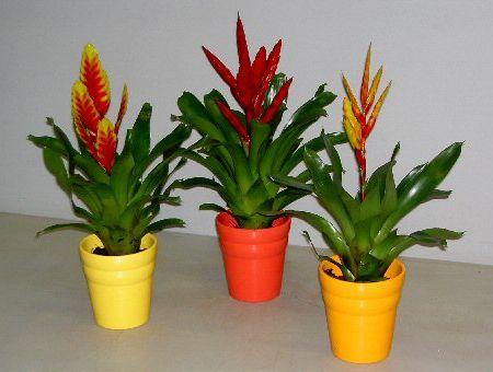 Plantas de interior con flor Vriesea