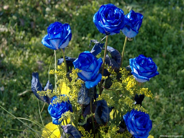 rosas azules en jardin