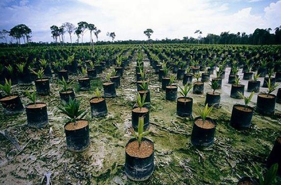 cultivos-aceite-de-palma.jpg