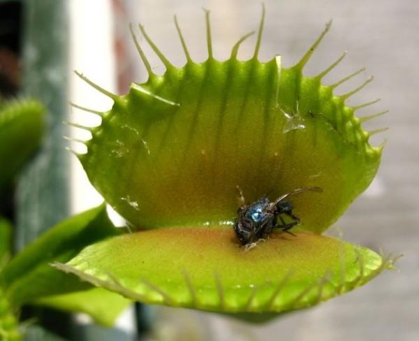 plantas carnivoras