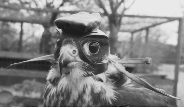 cómo cazan los halcones