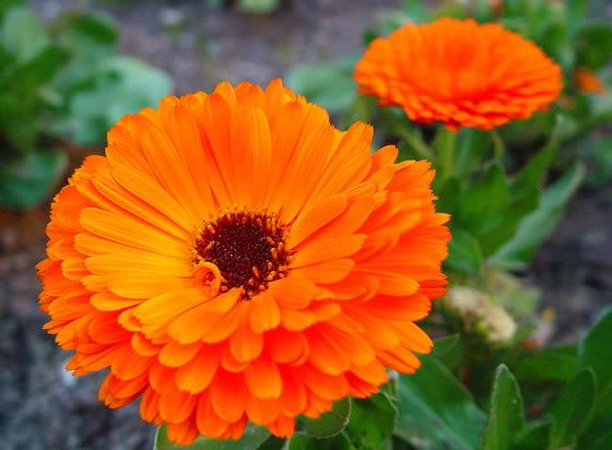 cuales-son-las-flores-del-verano-calendula