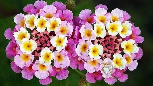 plantas-de-interior-con-flor-lantana