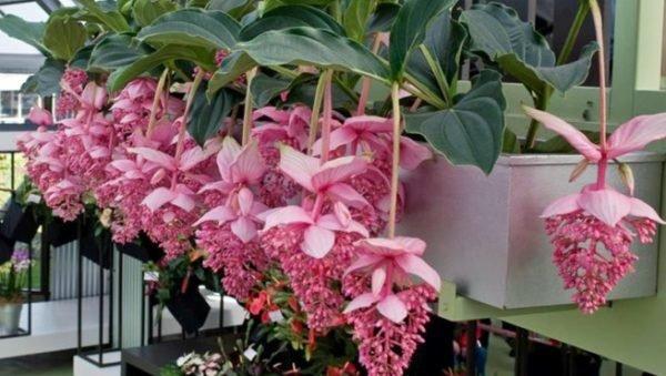 plantas-de-interior-grandes-medinilla