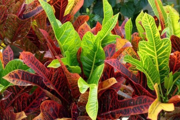 plantas-de-interior-sin-flor-croton
