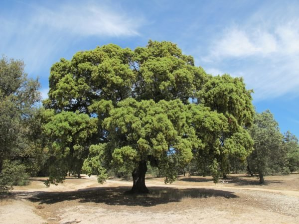 bosque-mediterraneo-flora-encina
