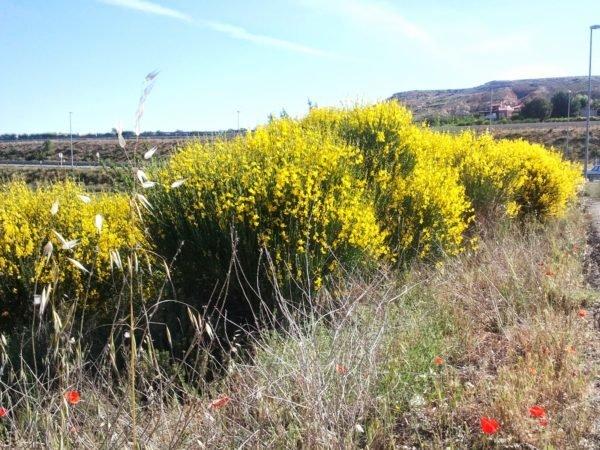 bosque-mediterraneo-flora-retama