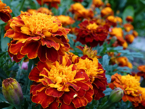 cuales-son-las-flores-del-verano-clavel-de-moro