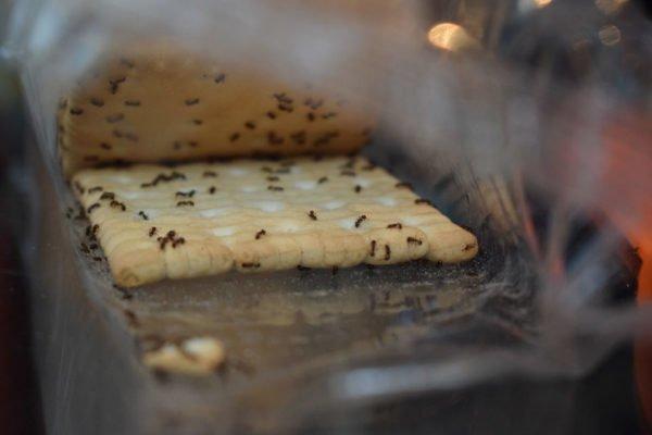 Cómo eliminar plaga de hormigas