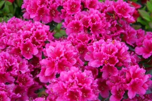 plantas-venenosas-para-perros-que-no-debes-plantar-en-el-jardin-azaleas