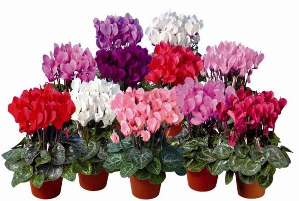 plantas-venenosas-para-perros-que-no-debes-plantar-en-el-jardin-cyclamen