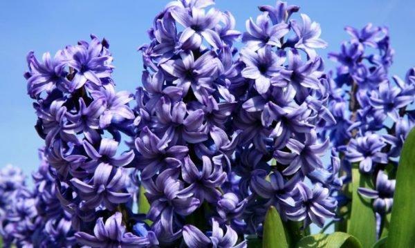 plantas-venenosas-para-perros-que-no-debes-plantar-en-el-jardin-jacinto