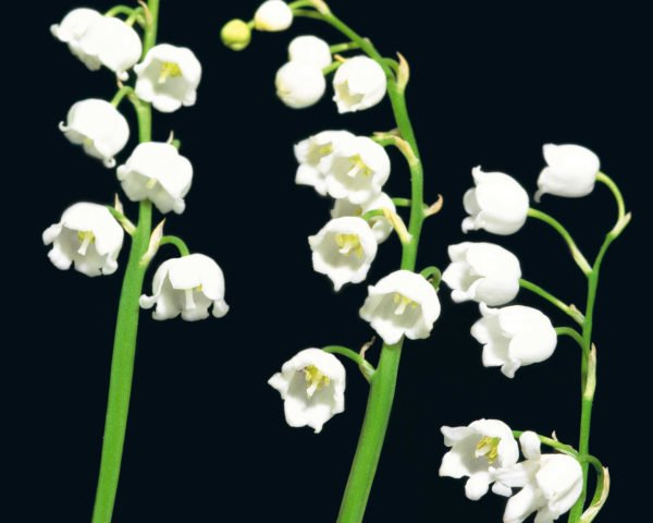 plantas-venenosas-para-perros-que-no-debes-plantar-en-el-jardin-lirio-del-valle