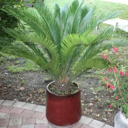 plantas-venenosas-para-perros-que-no-debes-plantar-en-el-jardin-palmera-sagu