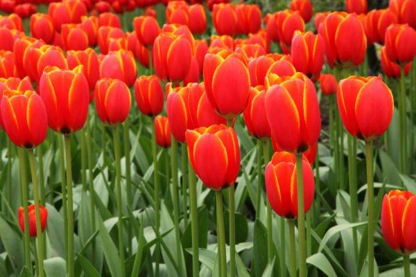 plantas-venenosas-para-perros-que-no-debes-plantar-en-el-jardin-tilipan