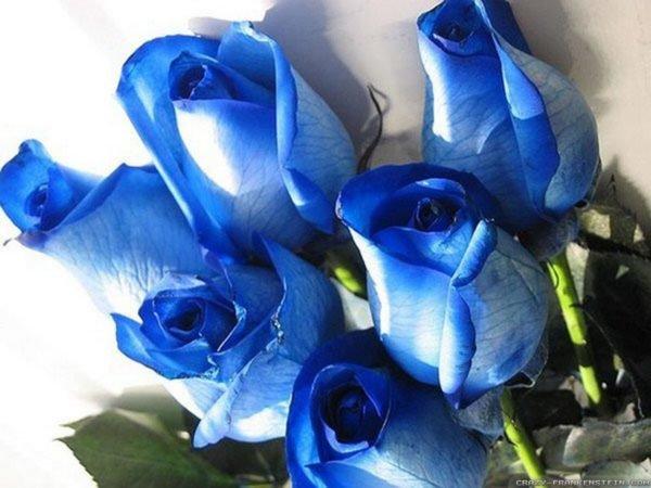 rosas-azules-cual-es-su-significado-celestes