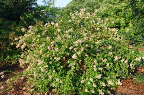 Abelia arbusto para decorar
