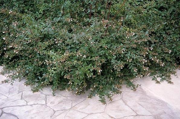 planta decorativa abelia