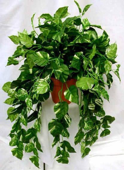 El potus poto una de las plantas de interior favoritas for Planta ornamental blanca nieves