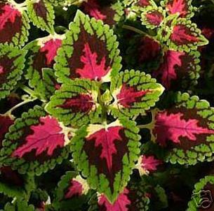 La llamativa cretona - Variedades de plantas de interior ...