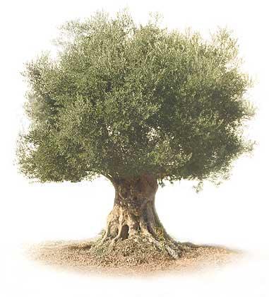 olivo viejo
