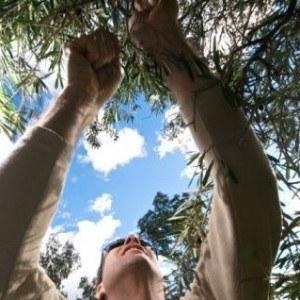 cómo podar un olivo