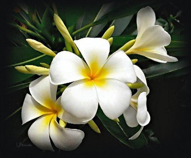 FloresdeJazmin