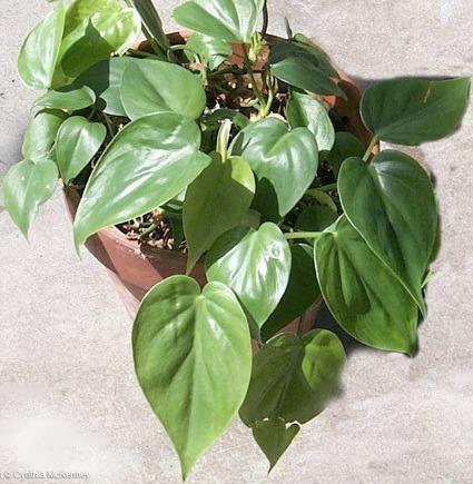 plantas-de-interior-4
