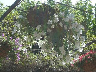 La campanilla morada - Tendenzias com
