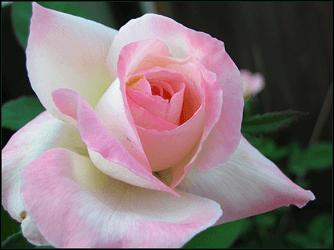 la rosa la planta ornamental por excelencia
