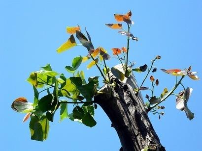 Reproduccion asexual de las plantas estacas de madeira