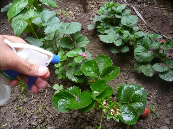 C mo eliminar los hongos de las plantas for Hongos en las plantas de jardin