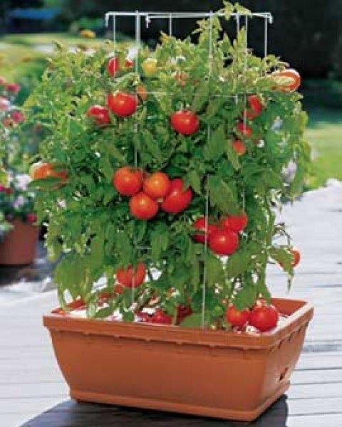 C mo cultivar tomates - Como plantar marihuana en casa paso a paso ...