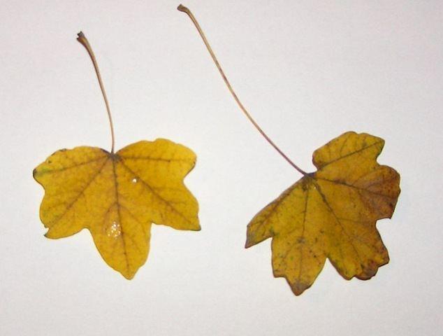 Arboles hoja caduca for Arboles de hoja caduca y perenne nombres