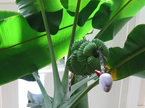 Rbol de banano como planta de interior for Arbol interior